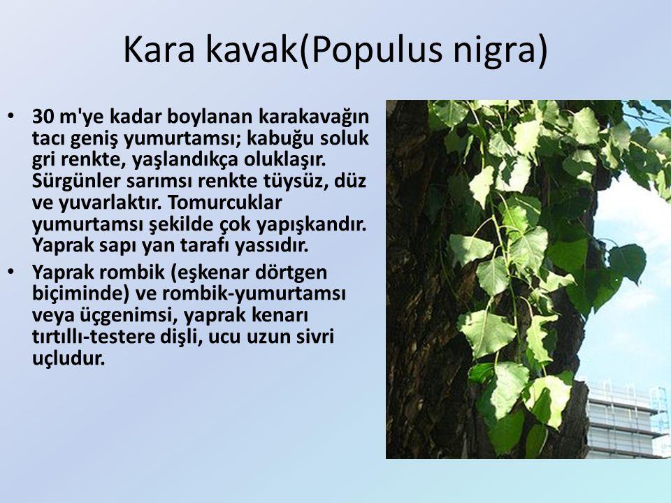 Kara kavak(Populus nigra)