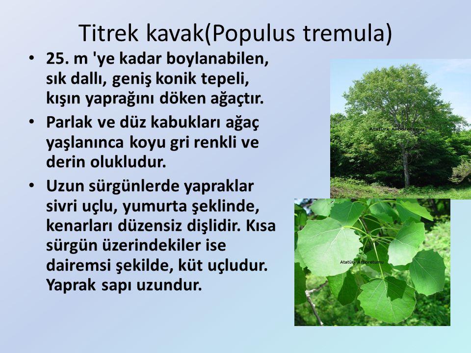 Titrek kavak(Populus tremula)