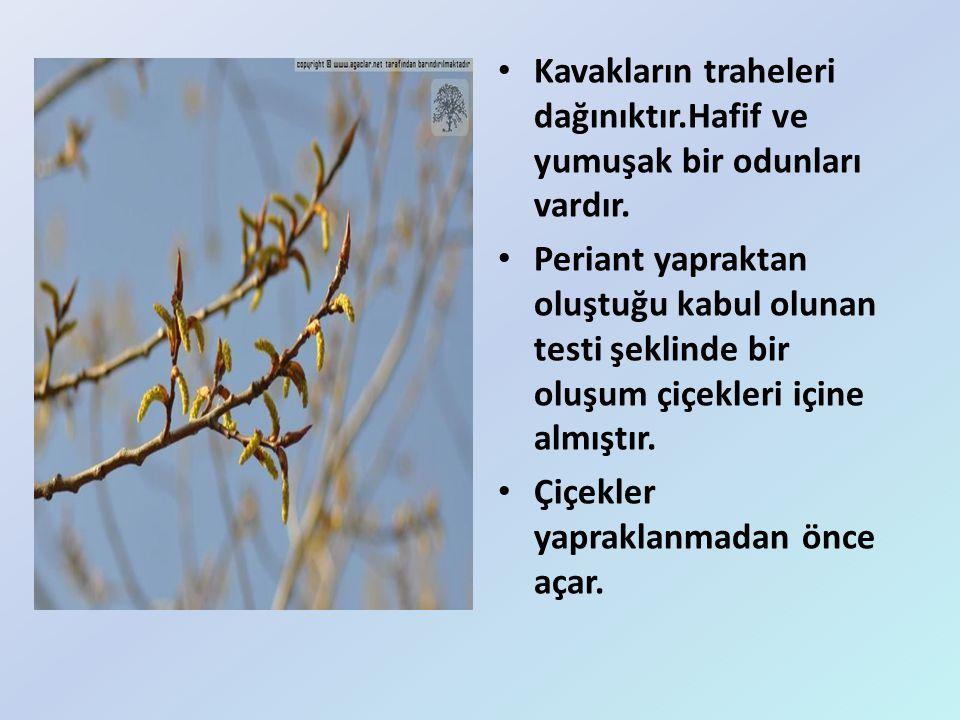 Kavakların traheleri dağınıktır.Hafif ve yumuşak bir odunları vardır.