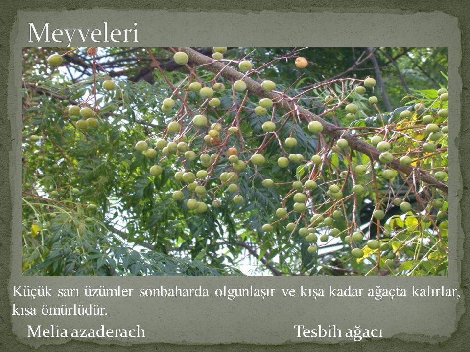 Meyveleri Melia azaderach Tesbih ağacı