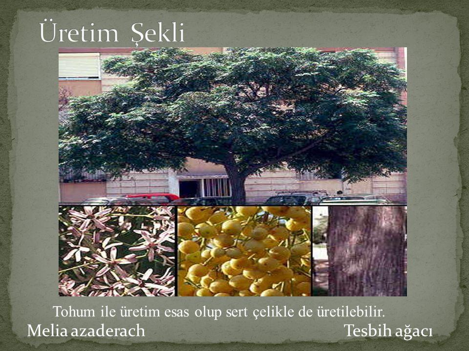 Üretim Şekli Melia azaderach Tesbih ağacı