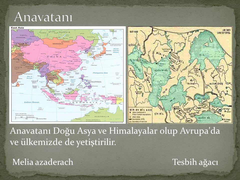 Anavatanı Anavatanı Doğu Asya ve Himalayalar olup Avrupa da ve ülkemizde de yetiştirilir.