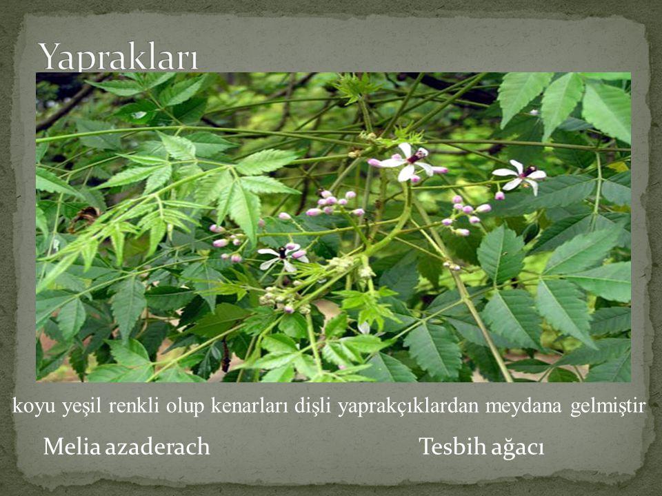 Yaprakları Melia azaderach Tesbih ağacı