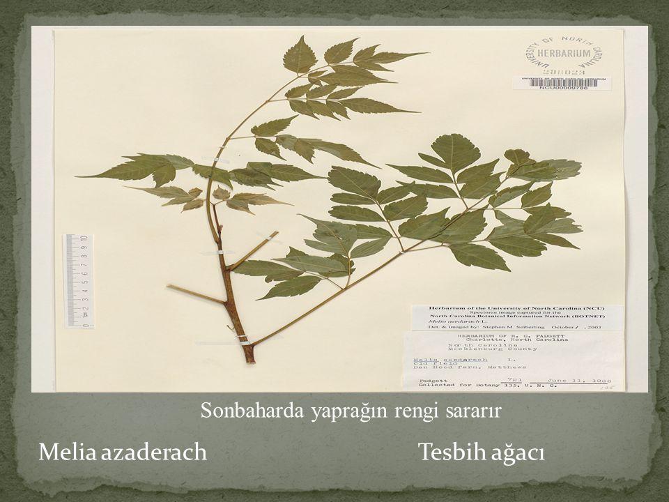 Melia azaderach Tesbih ağacı