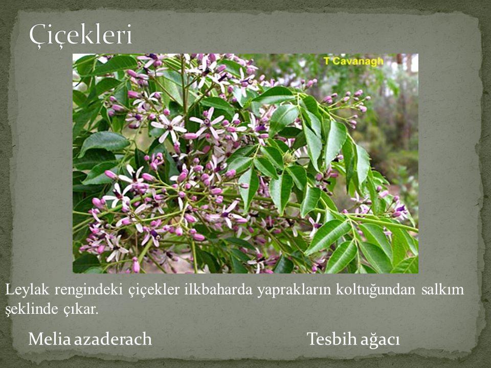 Çiçekleri Melia azaderach Tesbih ağacı