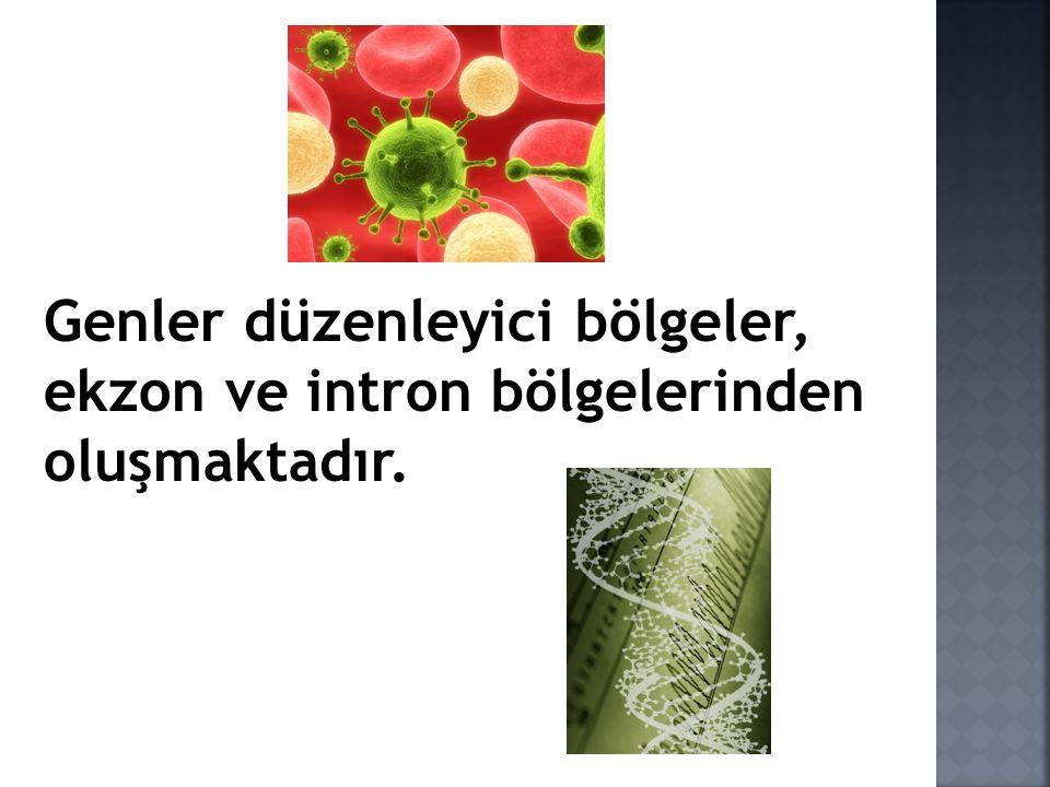 Genler düzenleyici bölgeler, ekzon ve intron bölgelerinden oluşmaktadır.