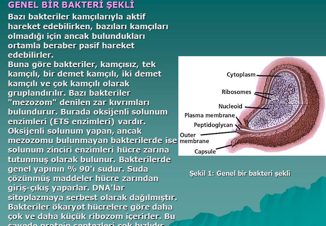 Şekil 1: Genel bir bakteri şekli