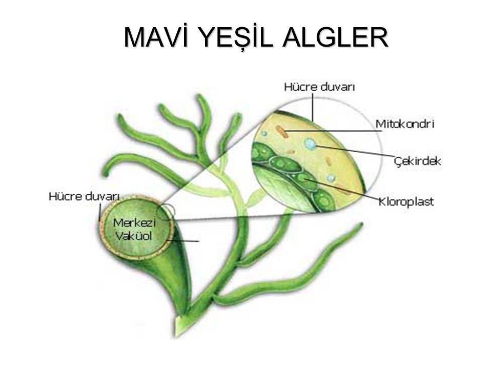 MAVİ YEŞİL ALGLER