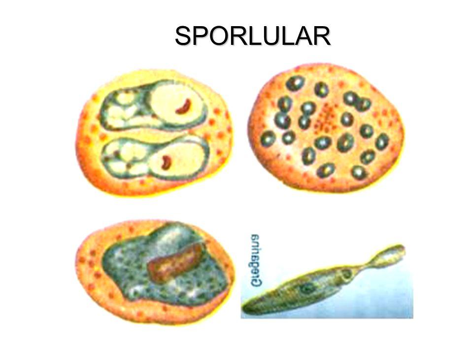 SPORLULAR
