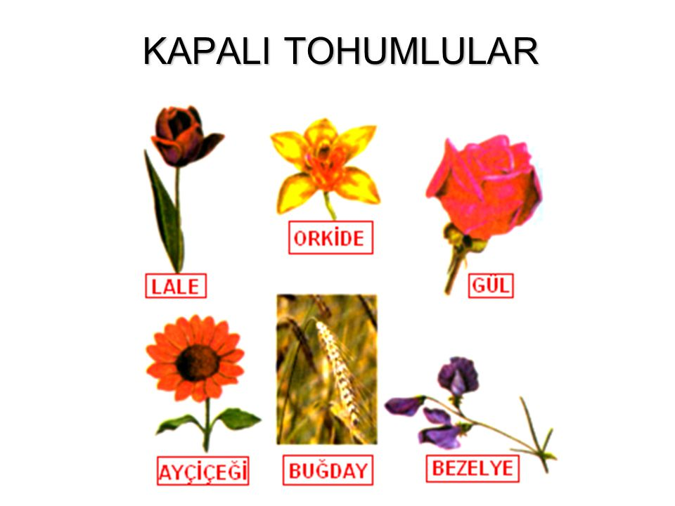 KAPALI TOHUMLULAR