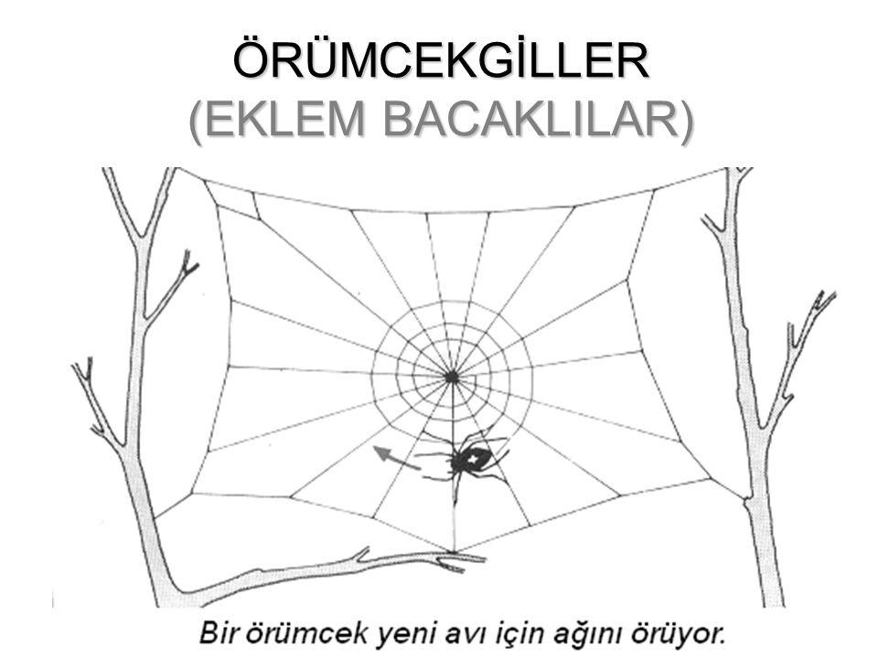 ÖRÜMCEKGİLLER (EKLEM BACAKLILAR)