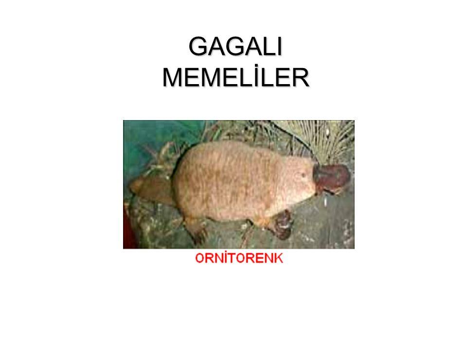 GAGALI MEMELİLER