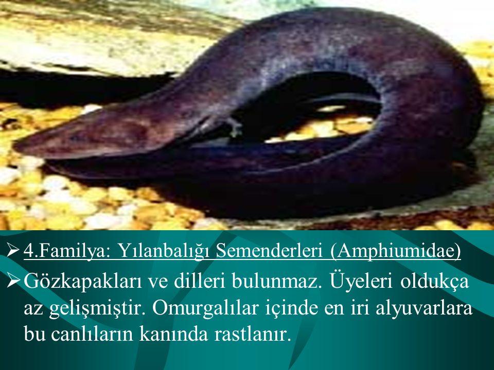 4.Familya: Yılanbalığı Semenderleri (Amphiumidae)