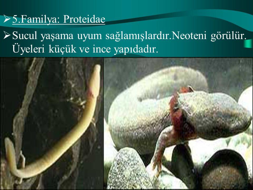 5.Familya: Proteidae Sucul yaşama uyum sağlamışlardır.Neoteni görülür.