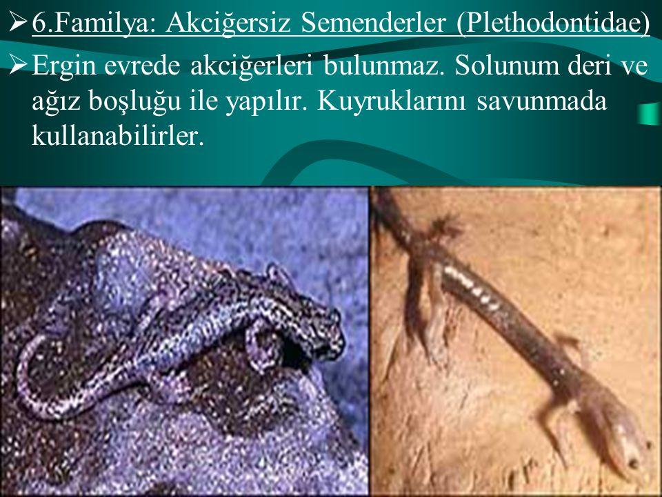 6.Familya: Akciğersiz Semenderler (Plethodontidae)