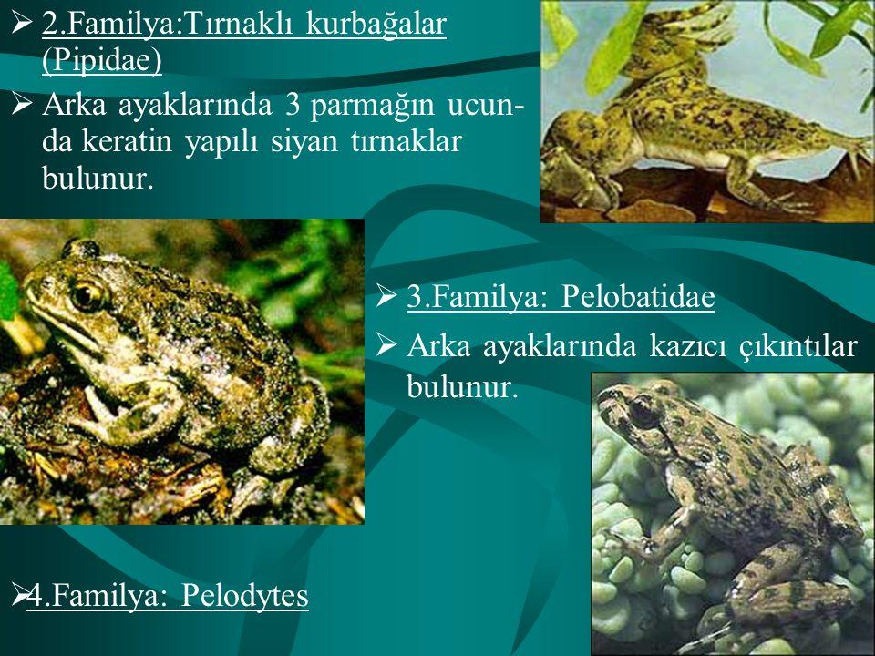 2.Familya:Tırnaklı kurbağalar (Pipidae)