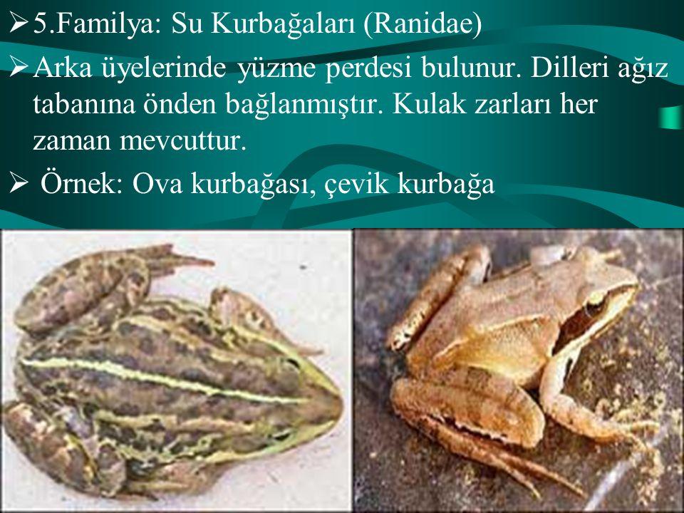 5.Familya: Su Kurbağaları (Ranidae)