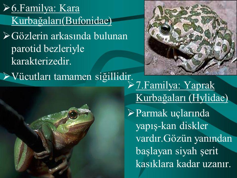 6.Familya: Kara Kurbağaları(Bufonidae)