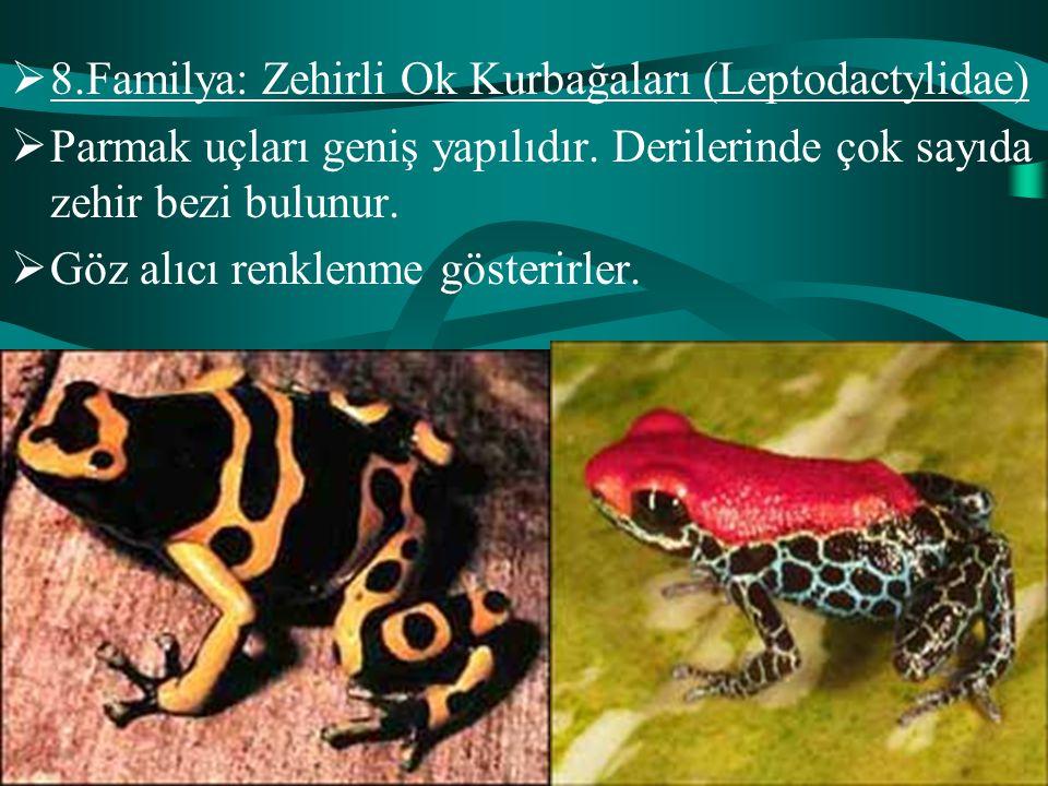 8.Familya: Zehirli Ok Kurbağaları (Leptodactylidae)