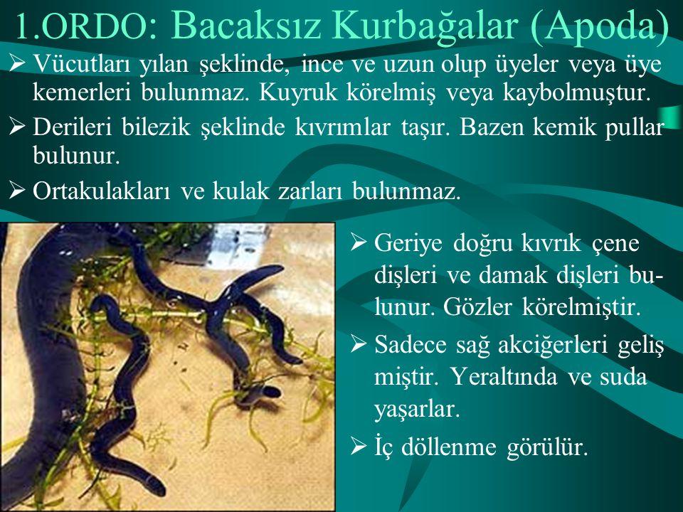 1.ORDO: Bacaksız Kurbağalar (Apoda)