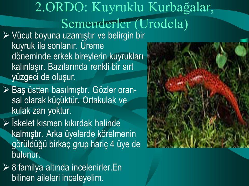 2.ORDO: Kuyruklu Kurbağalar, Semenderler (Urodela)