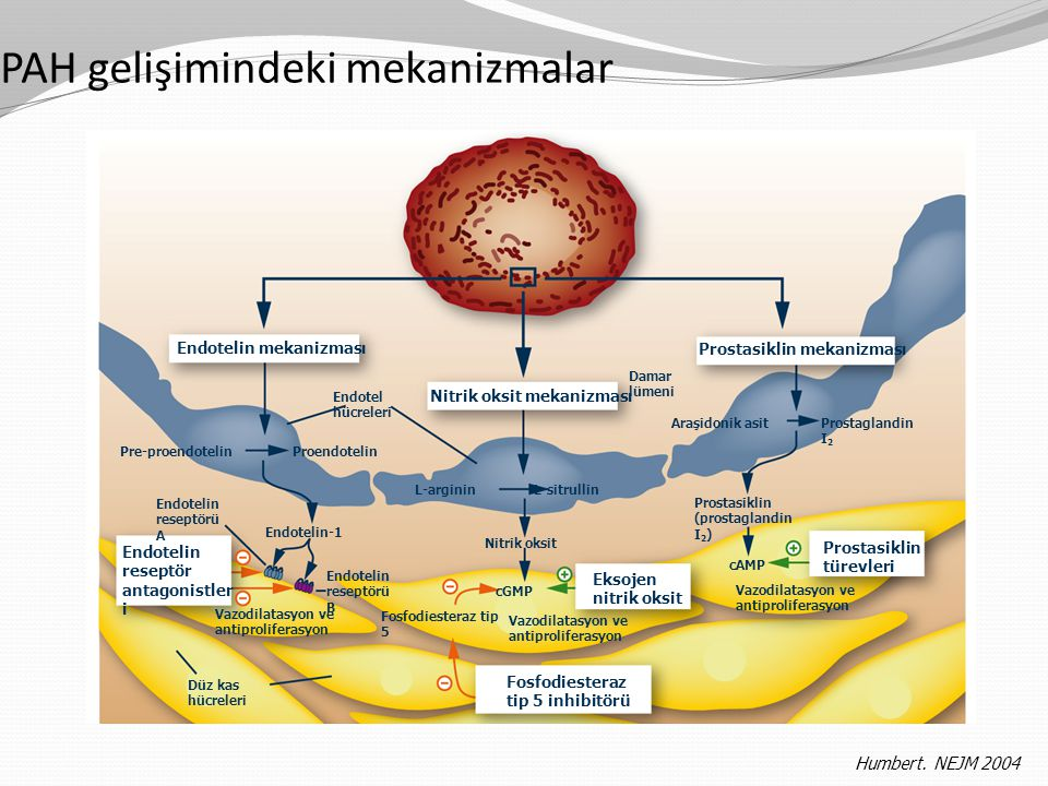 PAH gelişimindeki mekanizmalar