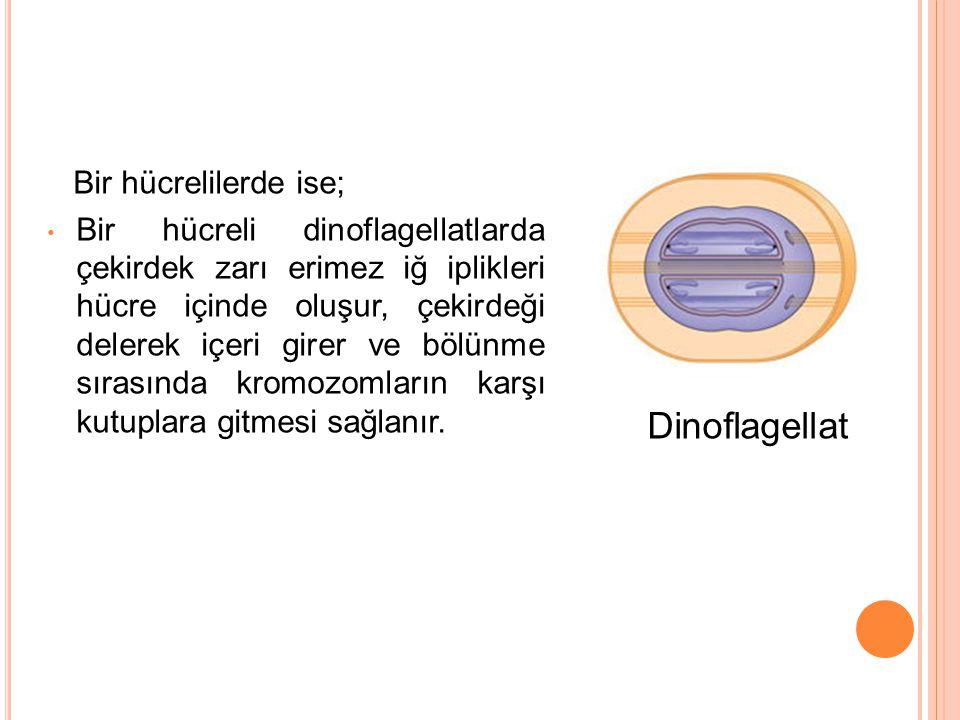 Dinoflagellat Bir hücrelilerde ise;