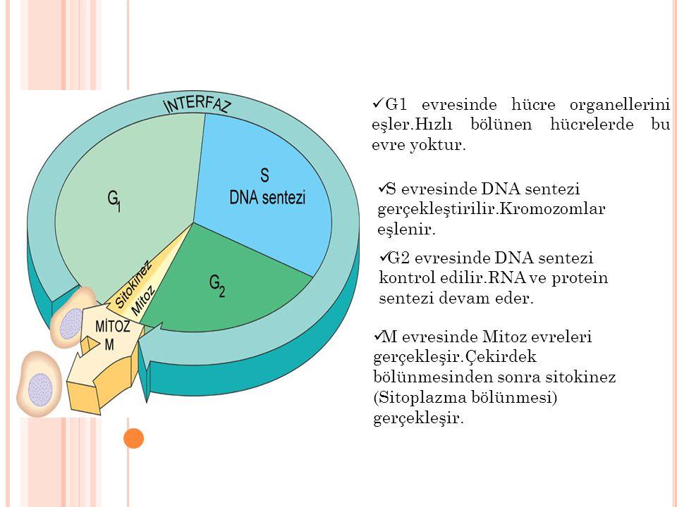G1 evresinde hücre organellerini eşler