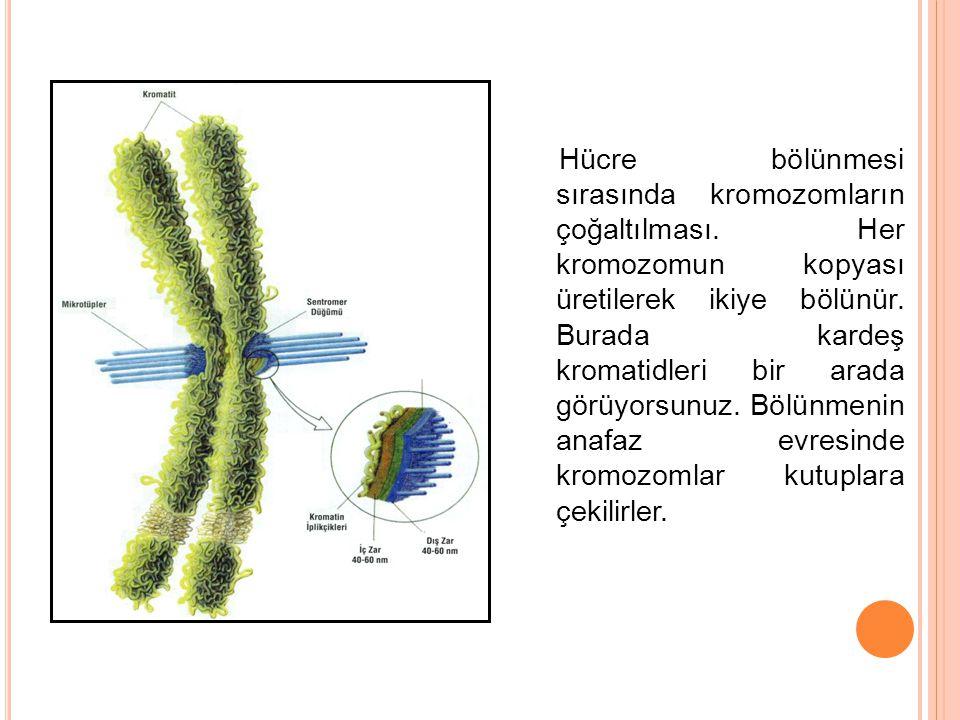 Hücre bölünmesi sırasında kromozomların çoğaltılması