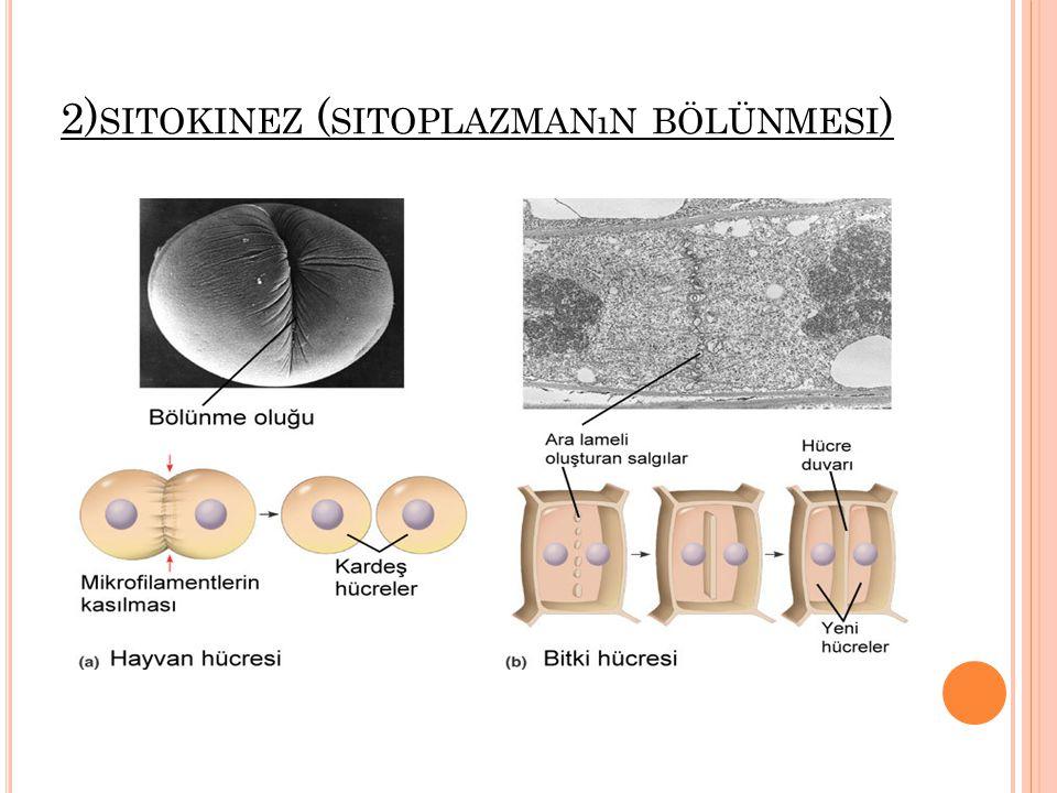 2)sitokinez (sitoplazmanın bölünmesi)
