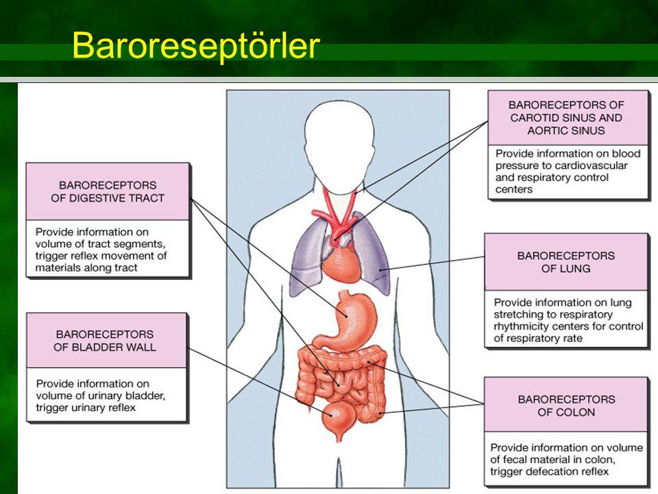 Baroreseptörler Figure 15.4