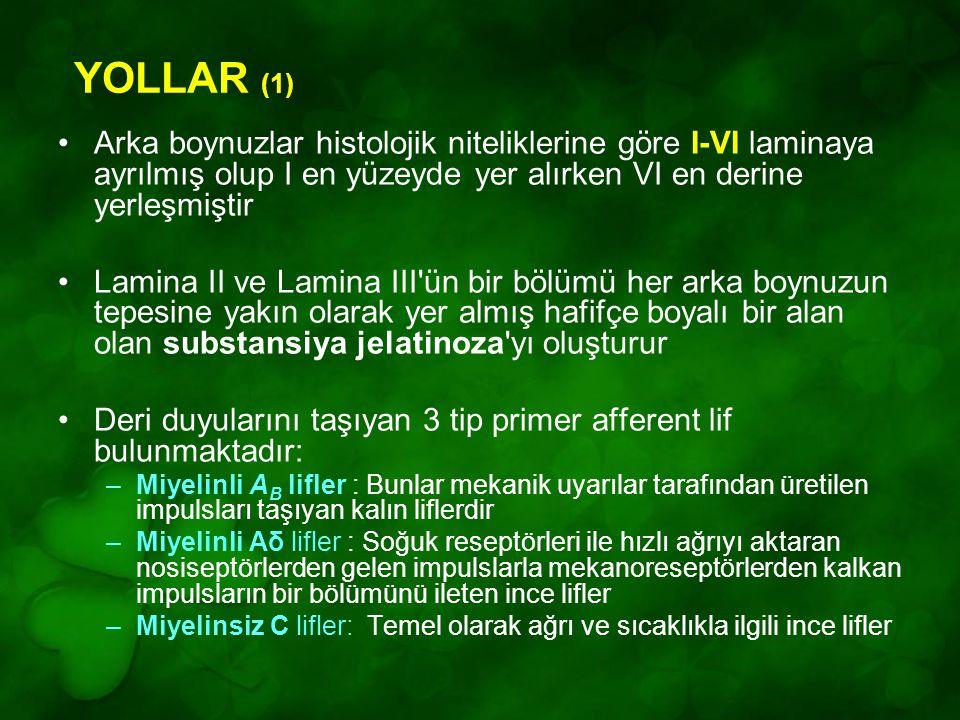 YOLLAR (1) Arka boynuzlar histolojik niteliklerine göre I-VI laminaya ayrılmış olup I en yüzeyde yer alırken VI en derine yerleşmiştir.