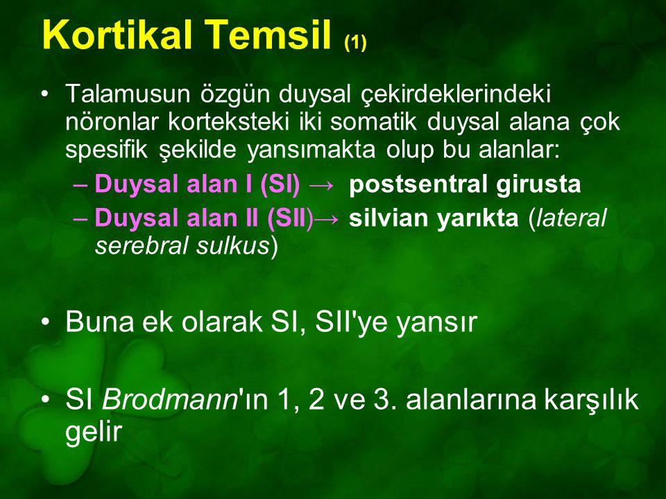 Kortikal Temsil (1) Buna ek olarak SI, SII ye yansır