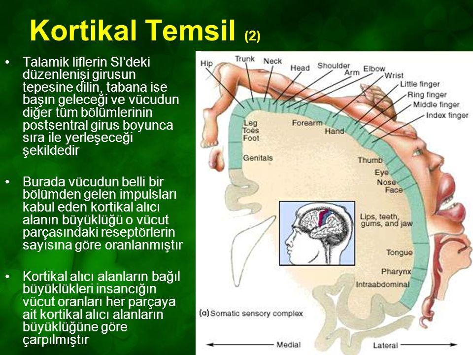Kortikal Temsil (2)