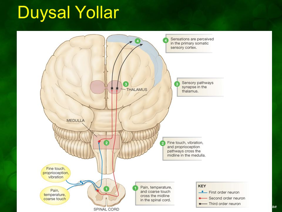 Duysal Yollar Figure 10-9: Sensory pathways cross the body's midline