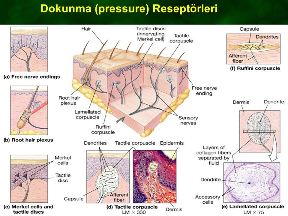 Dokunma (pressure) Reseptörleri