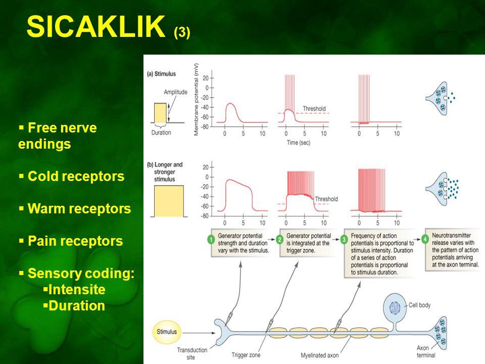 SICAKLIK (3) Free nerve endings Cold receptors Warm receptors