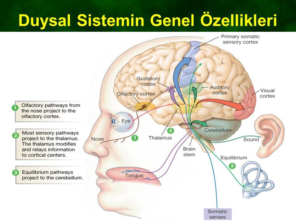 Duysal Sistemin Genel Özellikleri