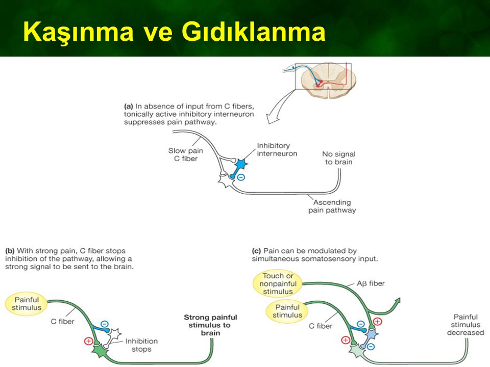 Kaşınma ve Gıdıklanma Figure 10-12: The gate control theory of pain modulation