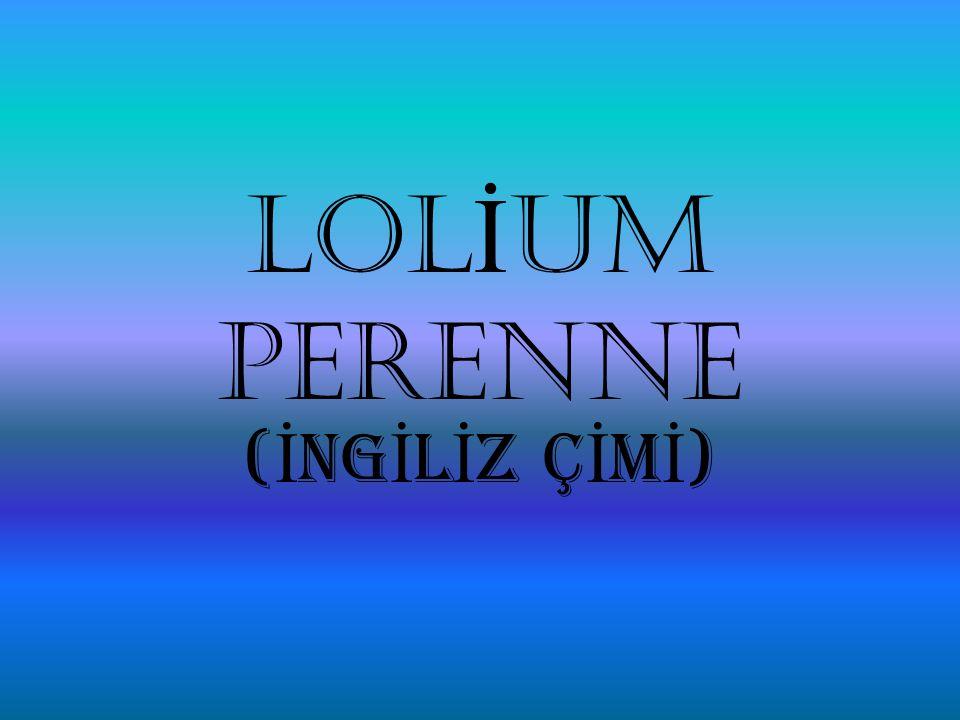 LOLİUM PERENNE (İNGİLİZ ÇİMİ)