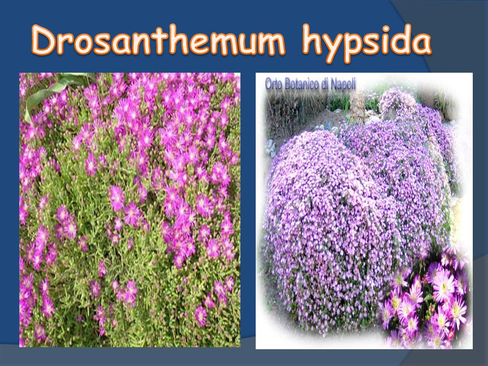 Drosanthemum hypsida