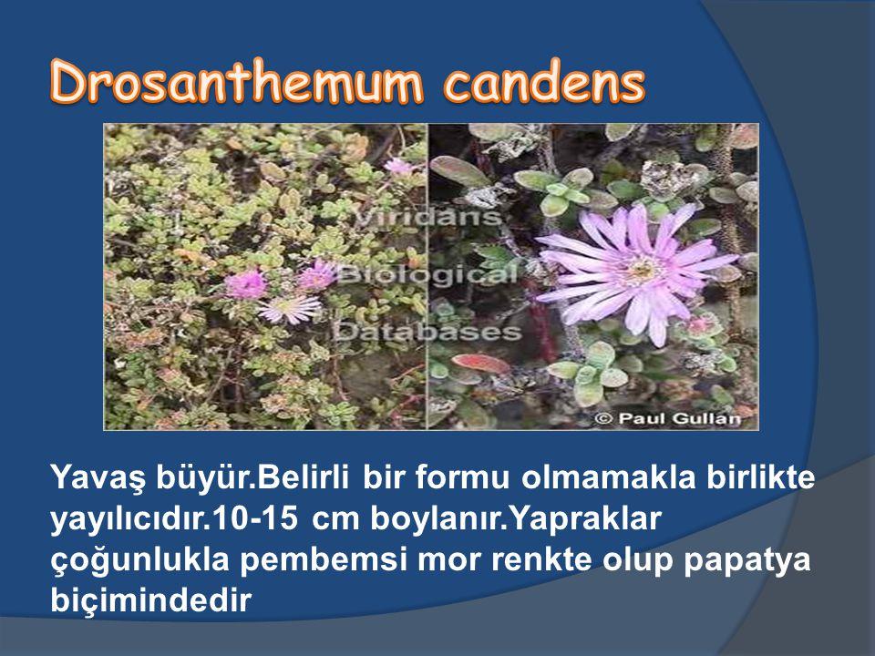 Drosanthemum candens