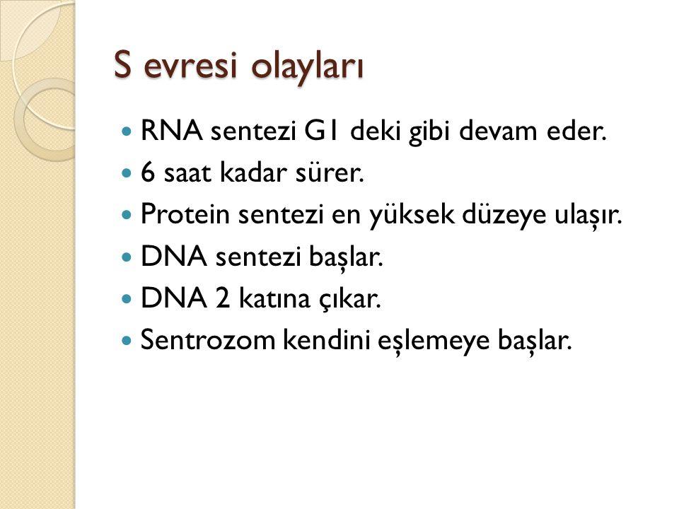 S evresi olayları RNA sentezi G1 deki gibi devam eder.