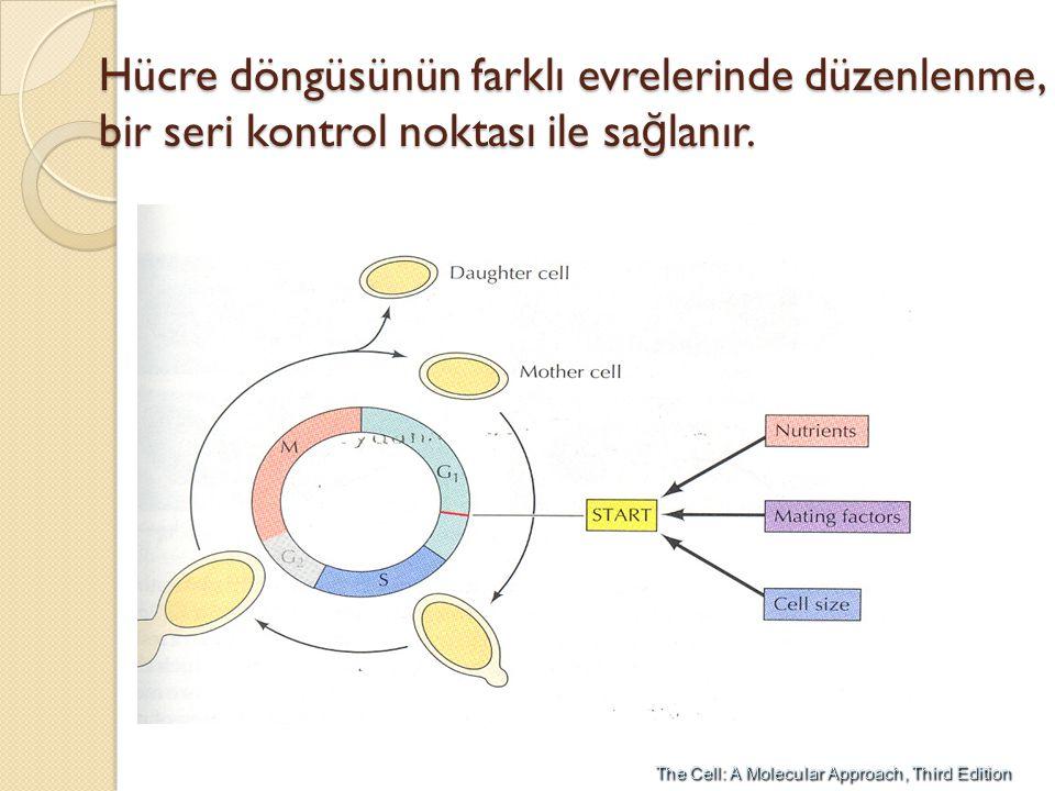Hücre döngüsünün farklı evrelerinde düzenlenme, bir seri kontrol noktası ile sağlanır.