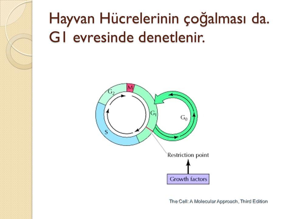 Hayvan Hücrelerinin çoğalması da. G1 evresinde denetlenir.