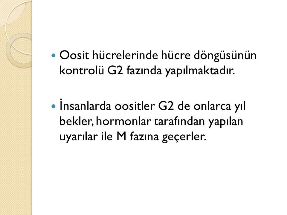 Oosit hücrelerinde hücre döngüsünün kontrolü G2 fazında yapılmaktadır.