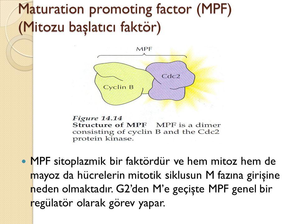 Maturation promoting factor (MPF) (Mitozu başlatıcı faktör)