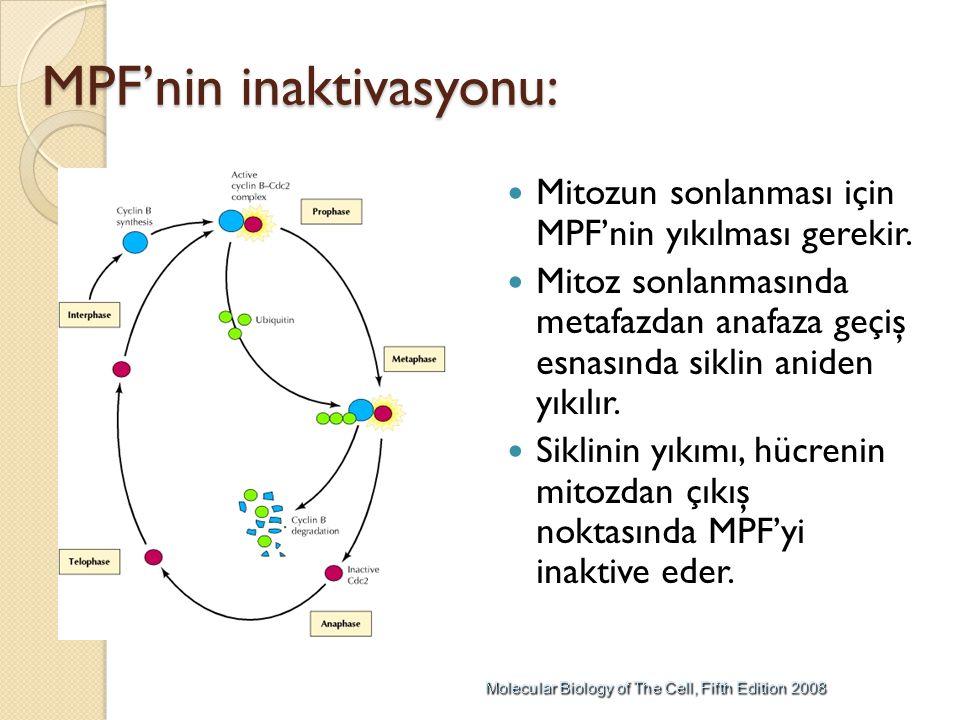 MPF'nin inaktivasyonu: