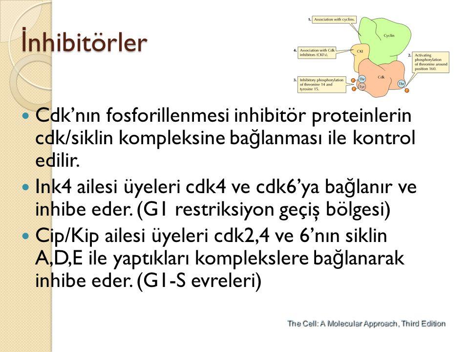 İnhibitörler Cdk'nın fosforillenmesi inhibitör proteinlerin cdk/siklin kompleksine bağlanması ile kontrol edilir.