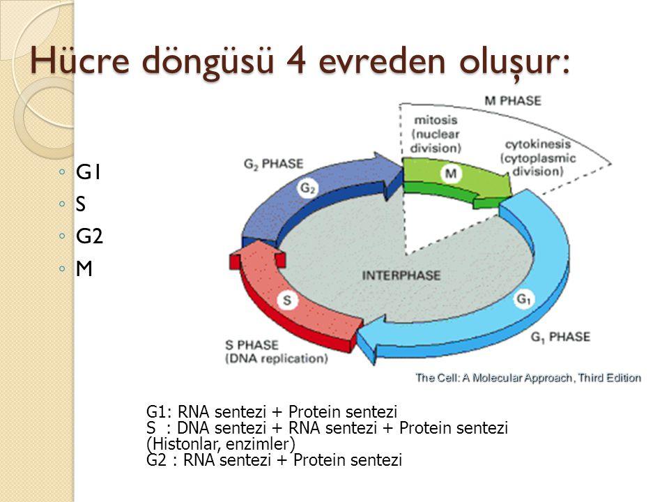 Hücre döngüsü 4 evreden oluşur: